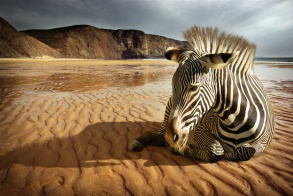 Surreal scene of a sitting zebra in an empty beach