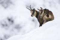chamois femelle et son jeune en hiver dans les alpes